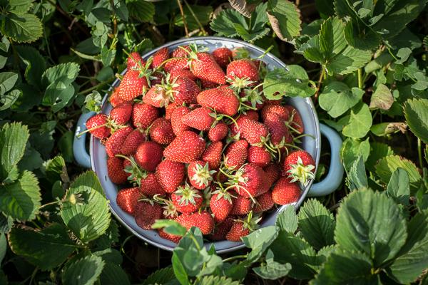 strawberries (1 of 1)